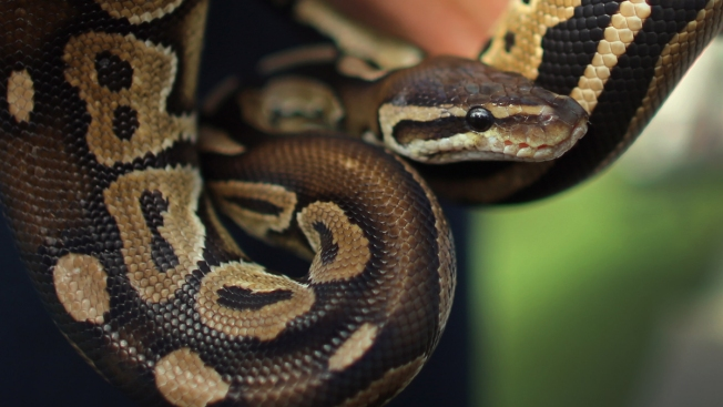 Snake Slithers Out of Toilet, Bites Florida Man