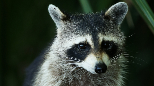 Indiana Woman Turns to Firefighters for Help With Blazed Pet Raccoon