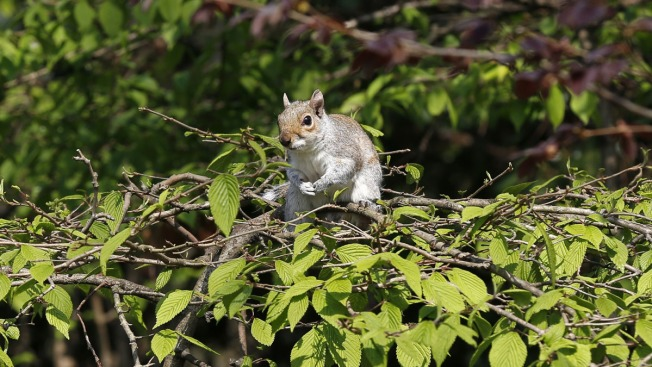 'Drunk' Squirrel Causes Hundreds of Dollars of Damage at English Club