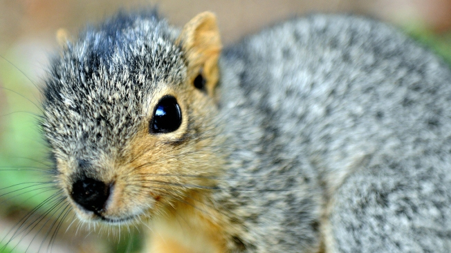 'Squirrel Whisperer' Rescues Animal Who Came for Help in Virginia