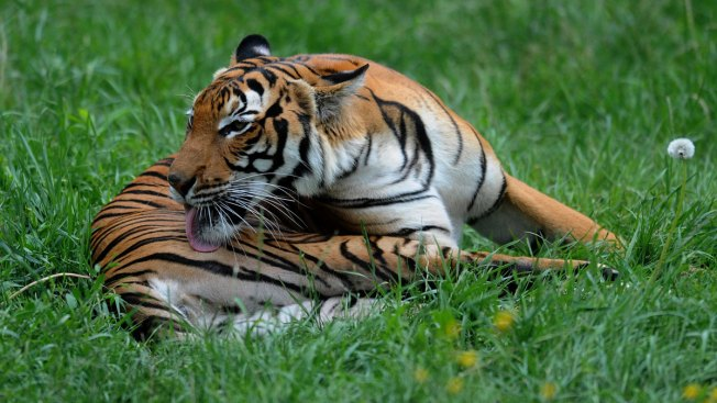 Tiger Bites Intoxicated Woman Who Broke Into Zoo: Police