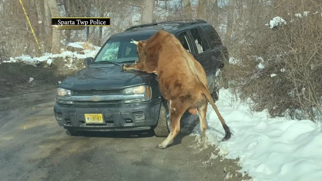 'Highly Aggressive' Bull Mounts Car, Attacks Woman in New Jersey: Police