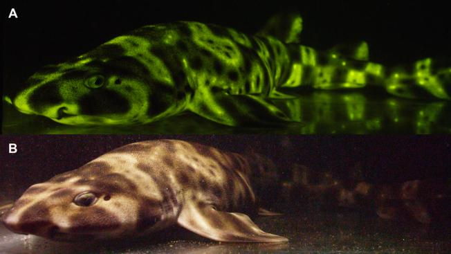 [NATL-SD-G] San Diego Scientists Discover Why Some Sharks Glow