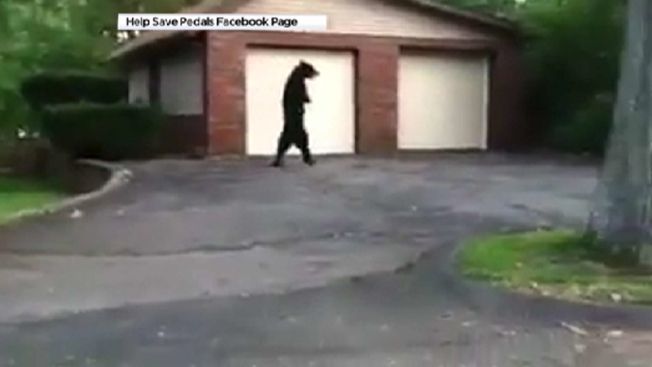 Bipedal Bear's Apparent Death Motivates Bear Hunt Opponents in New Jersey