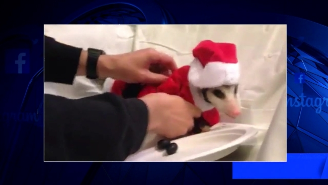 West Philly Opossum Brings Holiday Cheer 4f4c6fc43