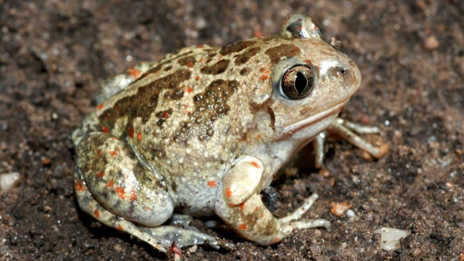 Bike Path Moved to Accommodate Endangered Toad