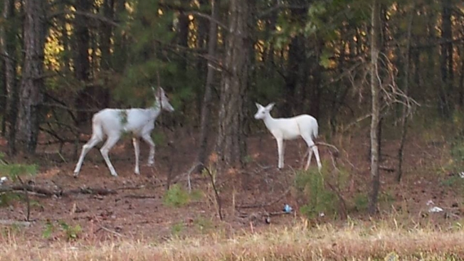 Rare, White Deer Appear in Jersey Woods