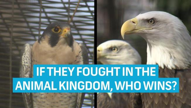 Zookeeper Confirms: An Eagle Would Destroy a Falcon in Real Life