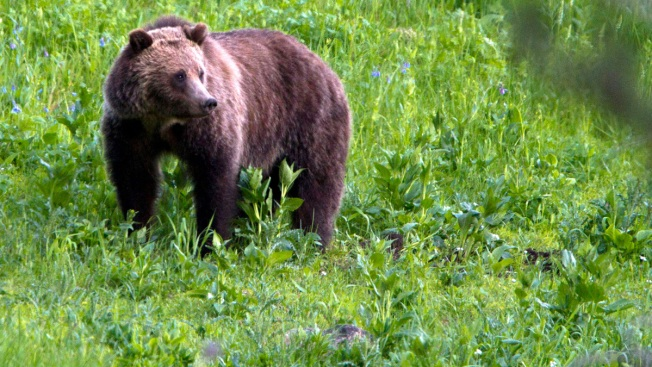 Native Americans Say Grizzly Bear Decision Violates Religion
