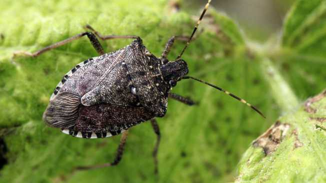Right On Time for Spring, the Malodorous Stink Bug Arises Once Again