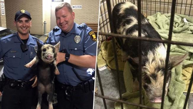 Police Catch Loose Pig Near Doughnut Shop, Name it 'Pork Roll'