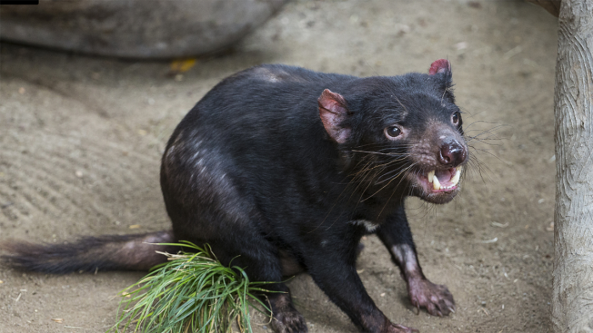 Tasmanian Devil Back in California Zoo After Pacemaker Surgery