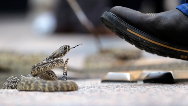 Rattlesnake With Severed Head Bites South Texas Man