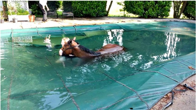Horse Rescued After Getting Stuck in Pool Cover