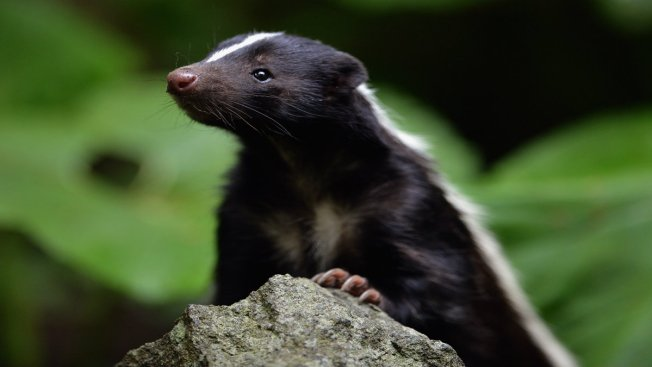 Skunk Home Invasion Still Stinks for Pennsylvania Family Months Later