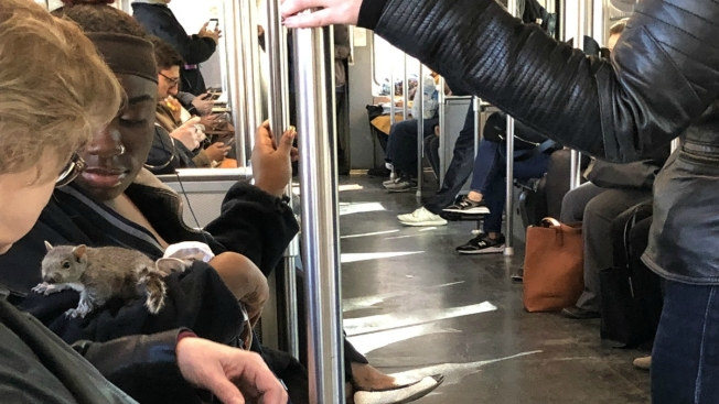 Squirrel Scares, Then Snuggles With Boston Trolley Riders