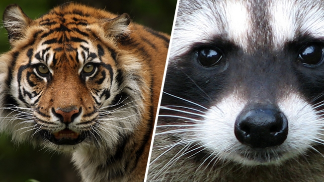 Report of Tiger Running Amok in Manhattan Turns Out to Be Raccoon