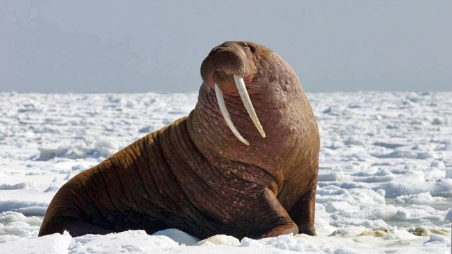 US Agency to Decide If Pacific Walrus is Threatened Species