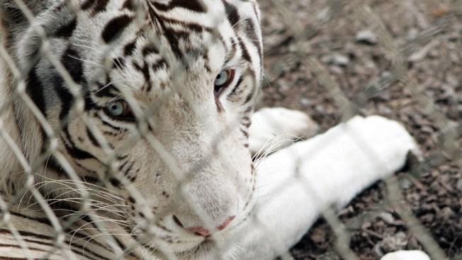 Apparent White Tiger Attack Kills Keeper at Japan Zoo