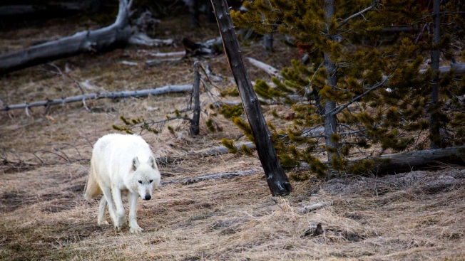 Reward Upped to $25K for Info About Yellowstone Wolf Death