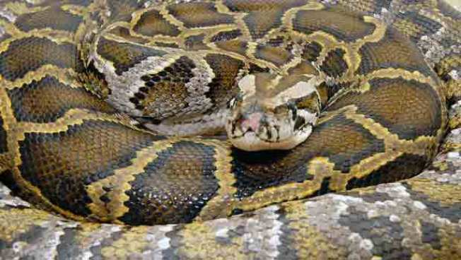 Man Tries to Sell 5 Stolen Pythons: Police