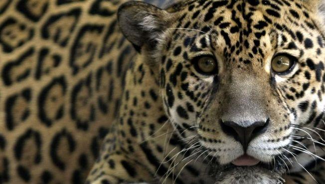 200-Pound Jaguar Mauls Woman at Zoo