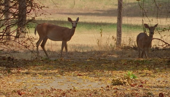 Pennsylvania Game Officials Probe Deer Deaths in Berks and Chester Counties