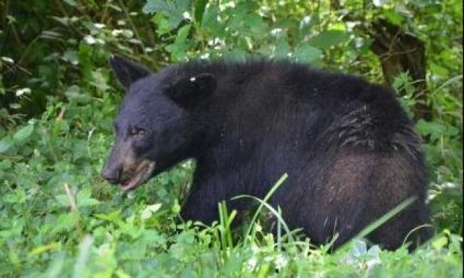 Black Bears Likely to Become Common in South NJ