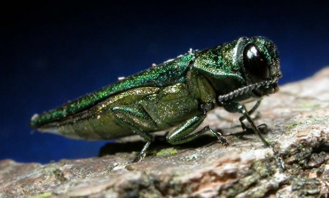 Invasive Beetle Found in Somerset County
