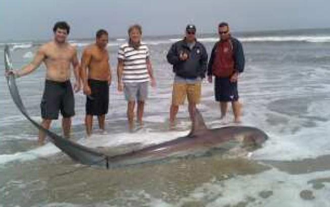 Thresher Shark Washes Up in Ventnor, Dies