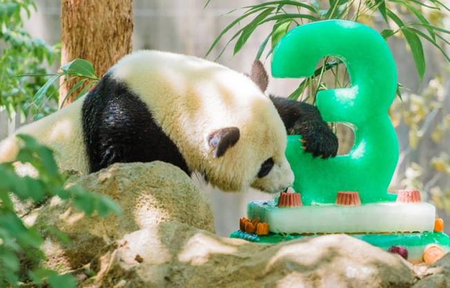 Panda Bao Bao Turns 3; Has 1 Year Left at National Zoo
