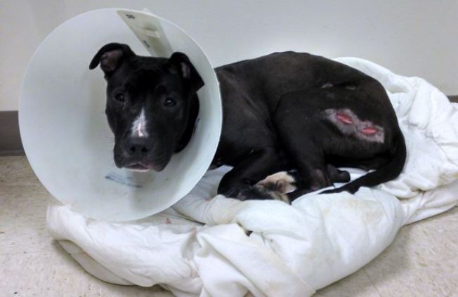 Dog Stabbed, Left for Dead in Chester