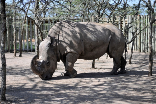 news worlds last male rhino getting help from tinder dating