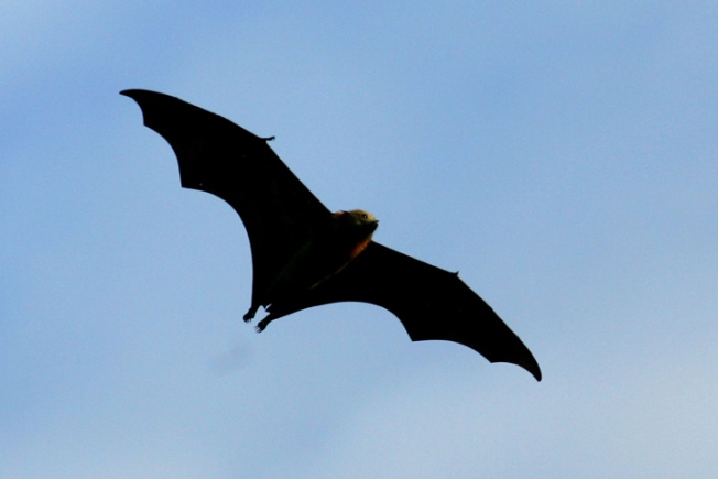 Del. Seeks Volunteers to Count Bats