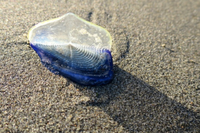 Thousands of Blue Sea Creatures Wash Up on Calif. Beaches