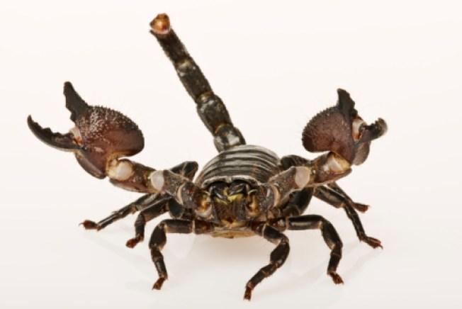 Stowaway Scorpion Stings Pennsylvania Man After Caribbean Vacation