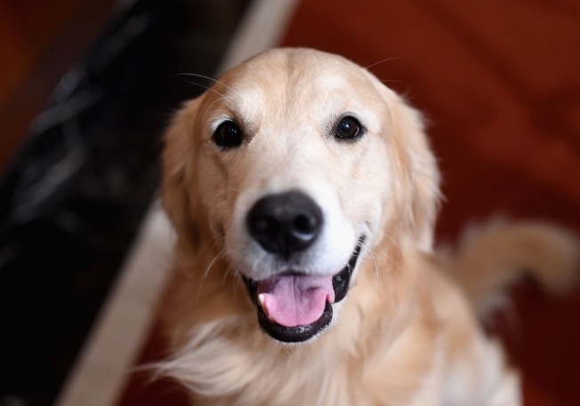 Lawmakers Favor Golden Retriever as Delaware's State Dog