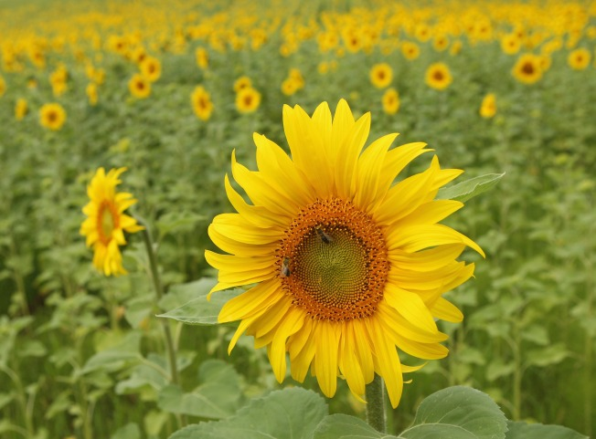 Girasole Blooms Anew