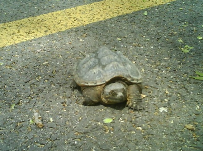 Turtle Causes 3-Car Wreck