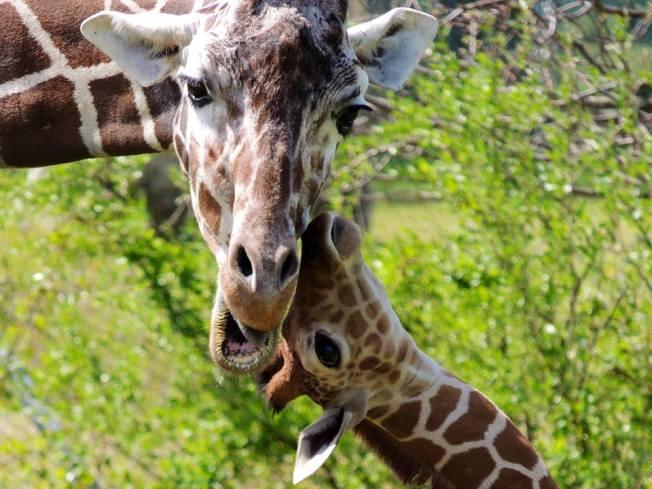 New Jersey Zoo Mourns Death of 'Aziza,' Its 1st Female Giraffe