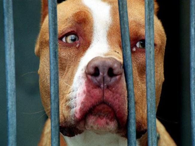 Ban Pit Bulls As Family Pets