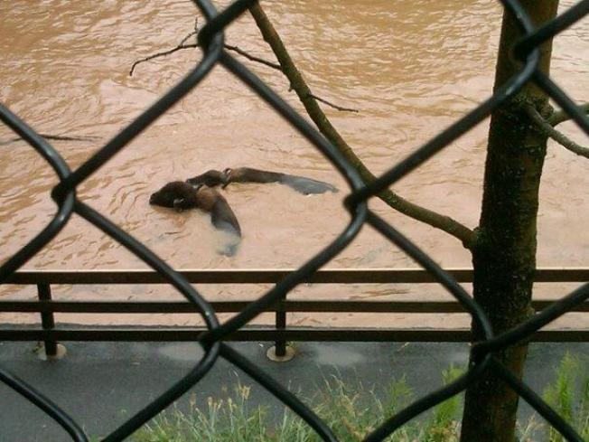 Hershey Park Bison Shot to Spare Drowning