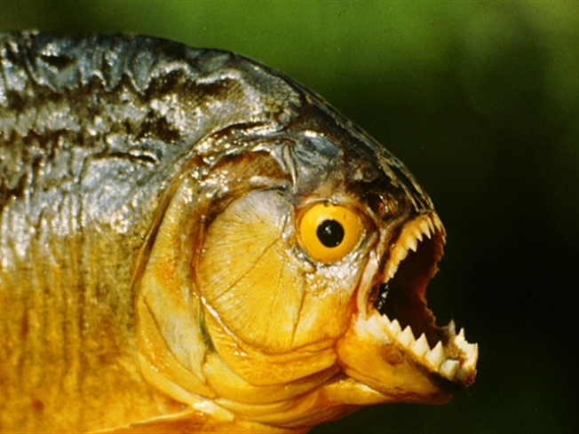 Duo Pulls Piranha From NJ Lake
