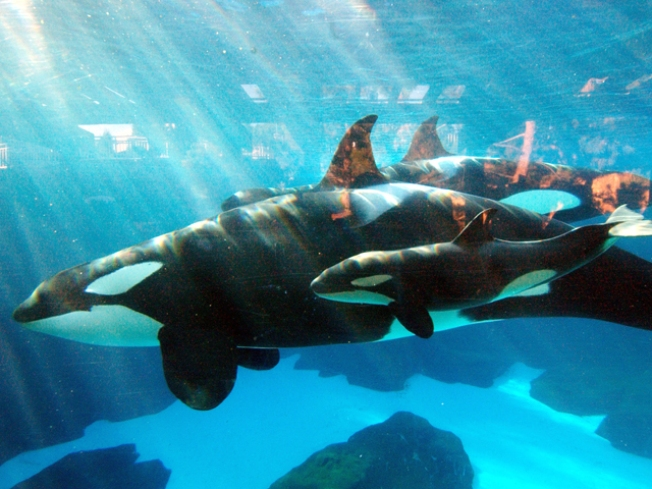Orca with lung disease euthanized at SeaWorld San Diego
