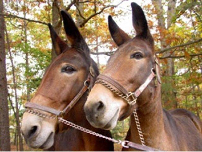 Escaped Mules Cause Deadly Crash