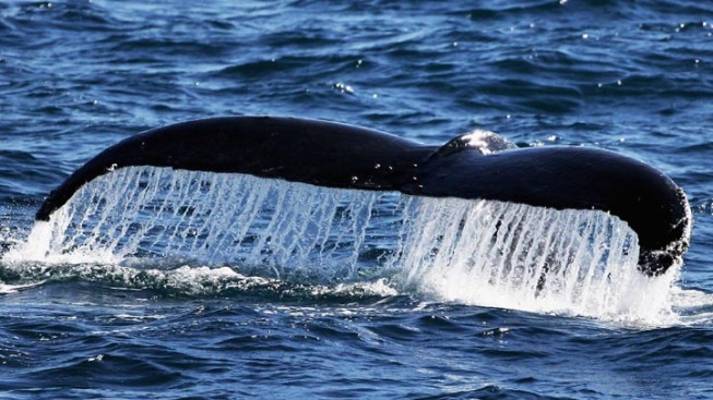 Ferry Riders Spot Humpback Whale Rarely Seen in Delaware Bay