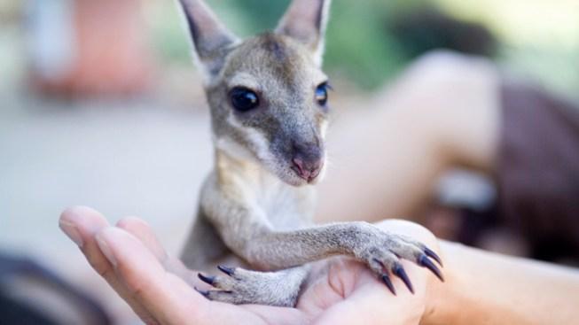 Texas Family Fights to Keep Baby Kangaroo