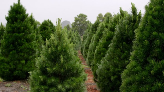 App Helps Del. Residents Find Christmas Trees