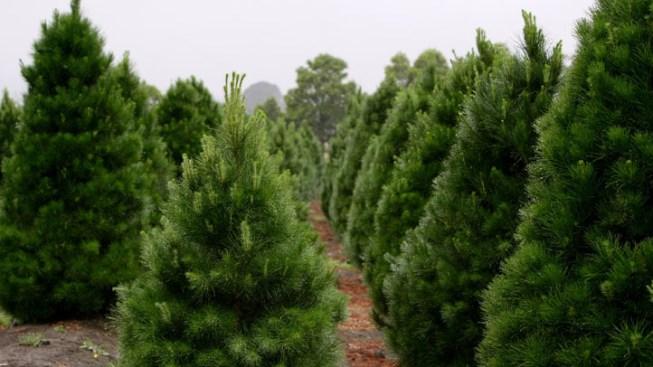 Stinky Spray Prevents Christmas Tree Poaching
