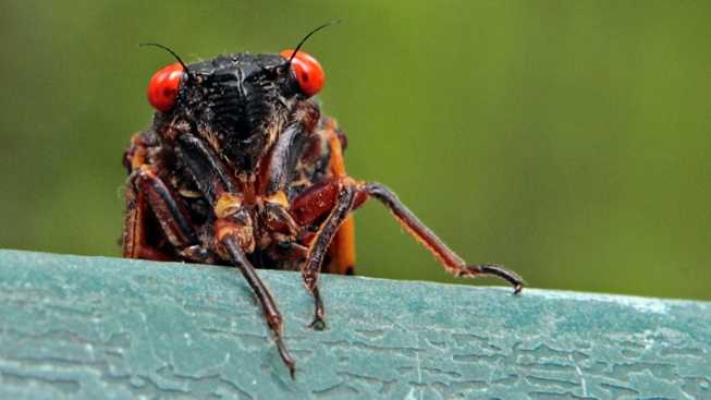 Rain, Cool Temperatures Delay Cicada Invasion